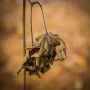 12th Nov 2015 - Withered Embrace