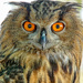 Leonidas the Eagle Owl by danette