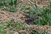 13th Nov 2015 - Spotted Thick-knee