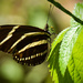 Zebrawing Butterfly by rickster549