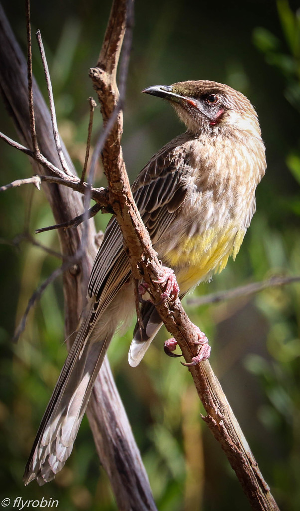 Young Red Wattlebird by flyrobin