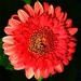 Pretty Pink Gerbera. by happysnaps