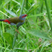 Red Browed Firetail  by onewing