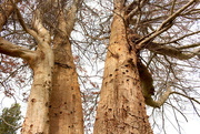 13th Nov 2015 - Beech tree's struggle is  almost over