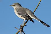 14th Nov 2015 - If that mockingbird won't sing