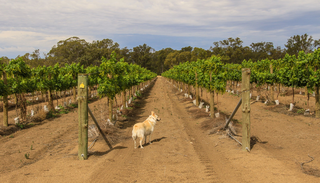 Maggie's checking out the vines by golftragic
