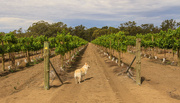 15th Nov 2015 - Maggie's checking out the vines