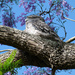 Tawny Frogmouth by onewing