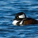 hooded merganser drake by mjalkotzy