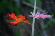 13th Nov 2015 - Pair of Oak Leaves