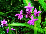 16th Nov 2015 - Chinese Ground Orchids.