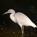 Snowy egret by congaree