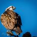 Osprey Hunting by elatedpixie