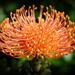 Lucospermum Cordifolium by julzmaioro