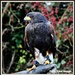 A Harris Hawk called Hudson by rosiekind