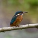 Female Kingfisher by padlock