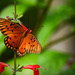 Gulf Fritillary Butterflies Still Around by rickster549