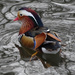 Mandarin Duck II (captive) by annepann