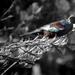Tui - Our Native Bird by yaorenliu