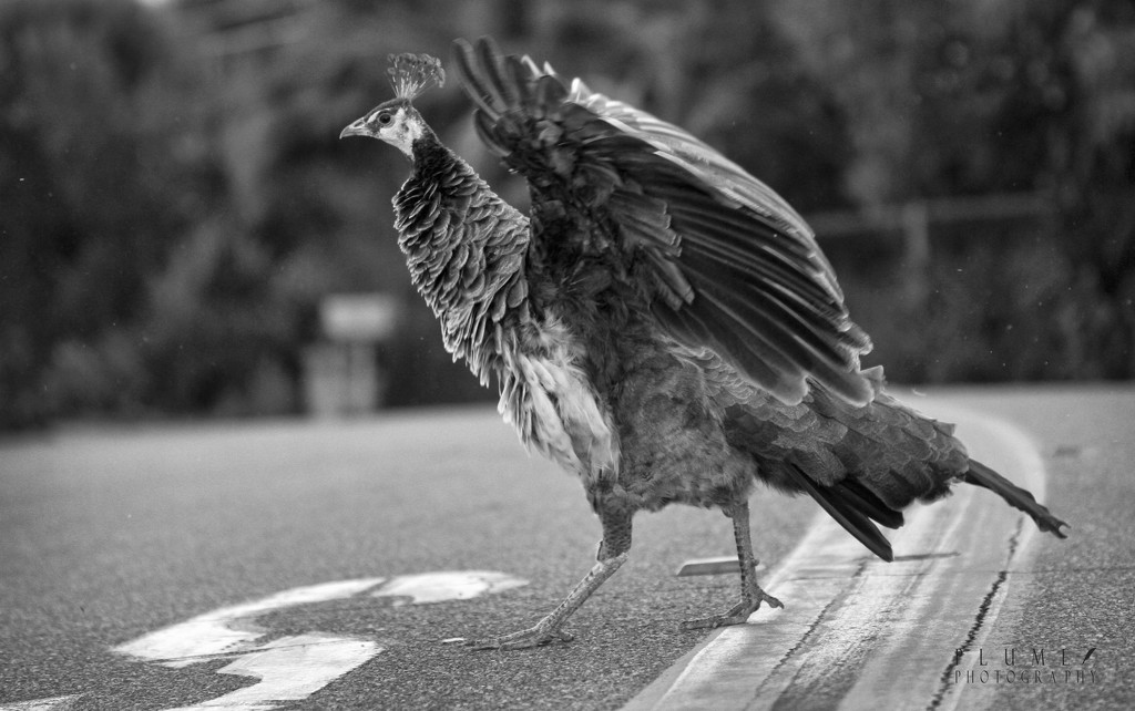 Why did the peacock cross the road? by orangecrush