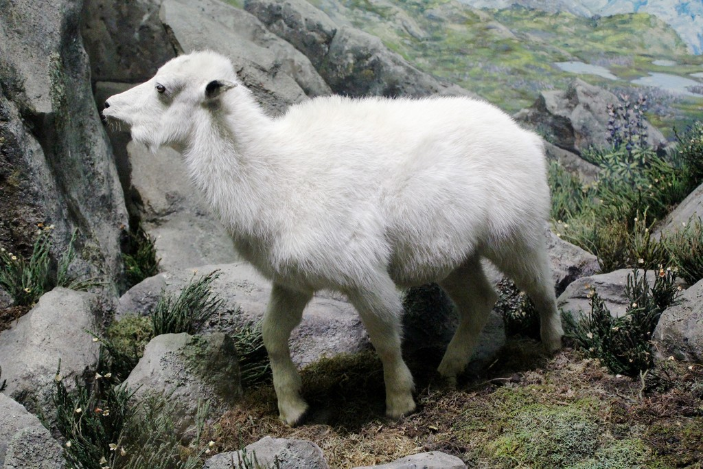 Mountain Goat by blackmutts