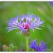 Centaurea Montana... Perennial Cornflower by julzmaioro