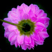 Backside of a dahlia by stiggle