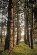 "14th Nov 2015 - ""The old pines of Bunyip""...."