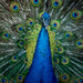 Peacock beauty by bella_ss