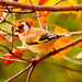 18th November 2015     - Goldfinch by pamknowler