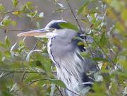 2nd Nov 2015 - Heron at Esthwaite Water (2)