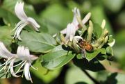 19th Nov 2015 - Honeybee on honeysuckle