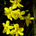 Jasminum mudiflorum....  by snowy