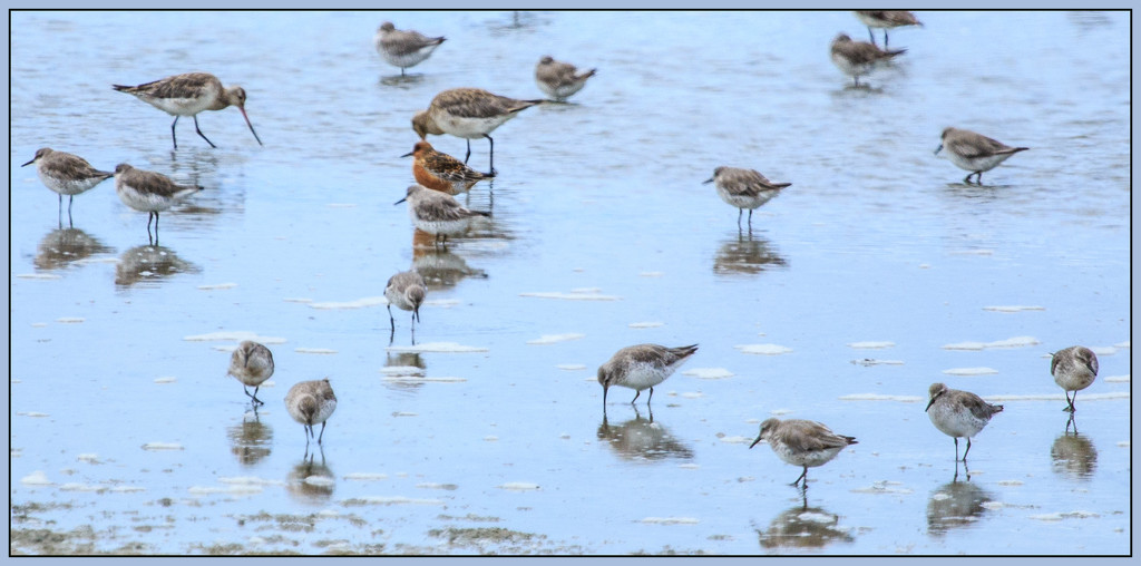 Godwits and knots by dide
