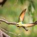 Rainbow Bee-eater in flight by flyrobin
