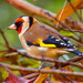 20th November 2015     - Goldfinch by pamknowler