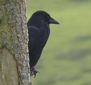 7th Nov 2015 - Carrion Crow