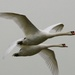 Swan fly past. by padlock