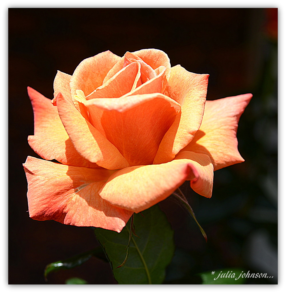 Orange Rose... by julzmaioro