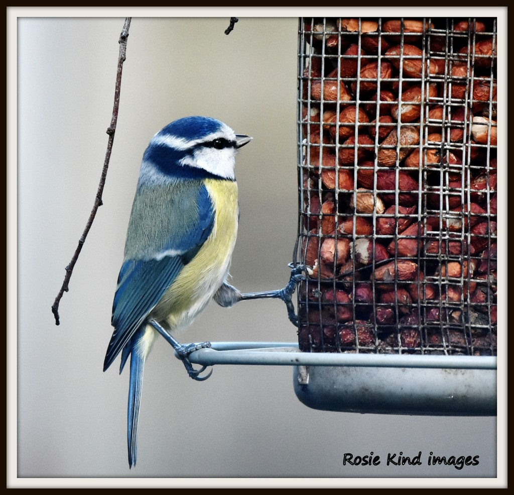 Another of my favourite friends - the blue tit by rosiekind