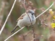 8th Nov 2015 -  House Sparrow (Male)