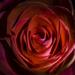 Rose. by tonygig
