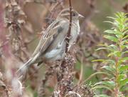 9th Nov 2015 -  House Sparrow (Female)