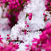 Snow on my Erica by elisasaeter