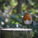 robin at Parkgate by callymazoo