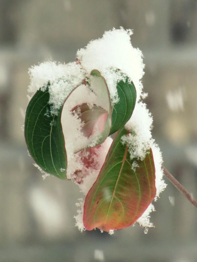 First Snow 2015 by juliedduncan
