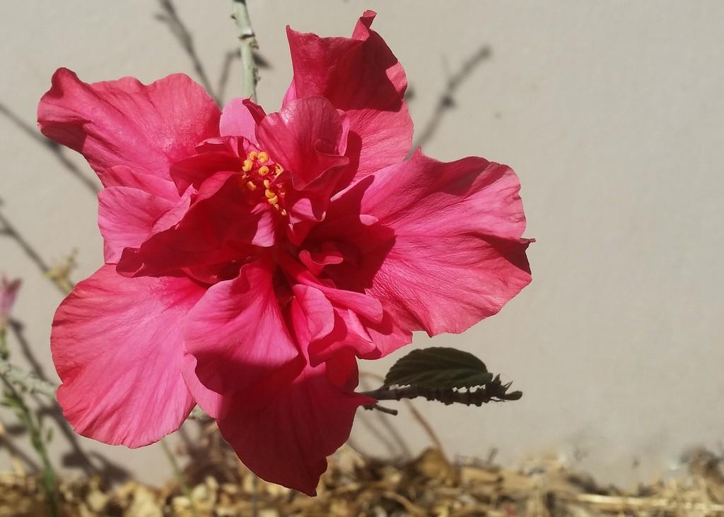 Hibiscus Flower by salza