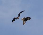 29th Jun 2014 - Red Kites in Mid Air....