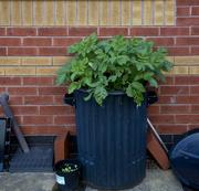 7th Jun 2014 - Potatoes in a Bin....