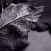 Ninebark Leaf by tosee